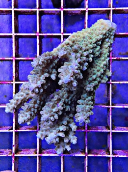 Acropora sp. Aussie green #5