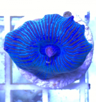 Discosoma sp. electric blue striped